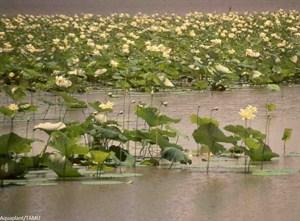 american-lotus.jpg