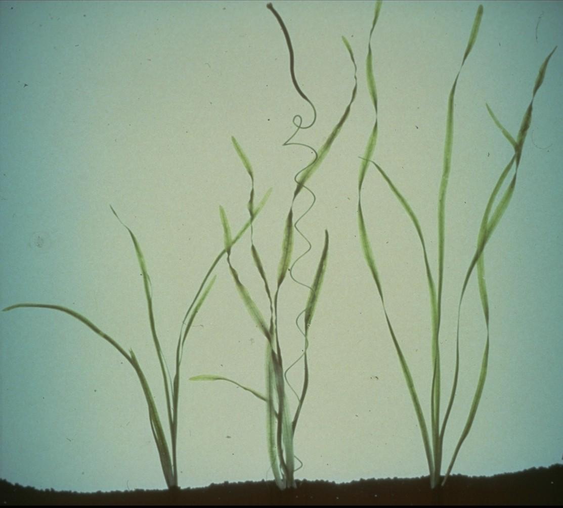 cd-84-z4-wild-celery-subemerged-plant-.jpg