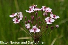 flowering-rushp.jpg